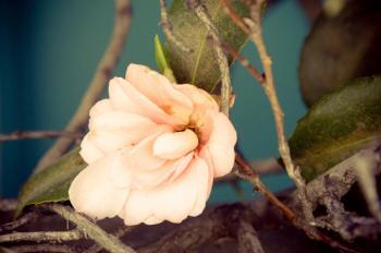 Peach Bloom Art Prints