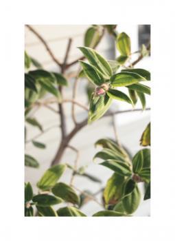 Princess Flower : Lasiandra Art Prints