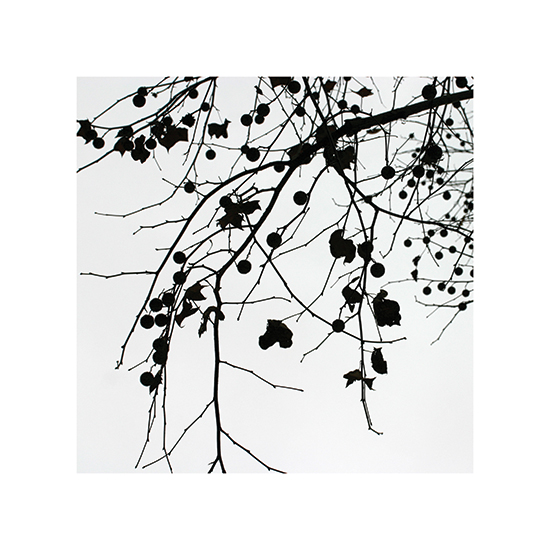 art prints - California Sycamore by Becky Nimoy