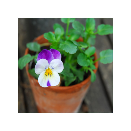 art prints - Tiny Viola by Jade Tran