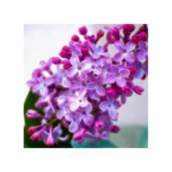 Glowing Lilac