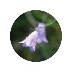 Purple Bell Flowers Art Prints