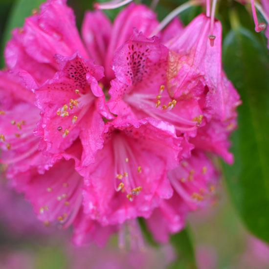 art prints - Pretty in Pink by Britt Clendenen