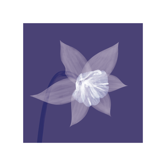 art prints - Daffodil Bloom by Madeline