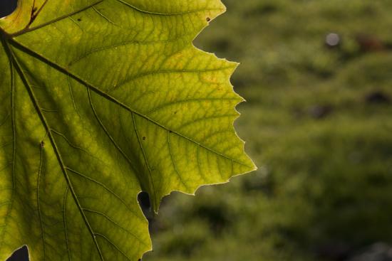 art prints - Luminous Leaf by Valerie Ng
