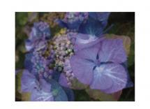 Vibrant Hydrangeas by Dana Fong