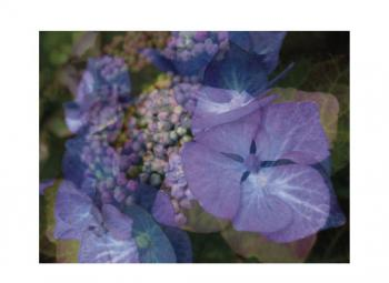 Vibrant Hydrangeas Art Prints