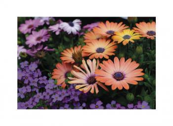 Gerbera Daisy Art Prints