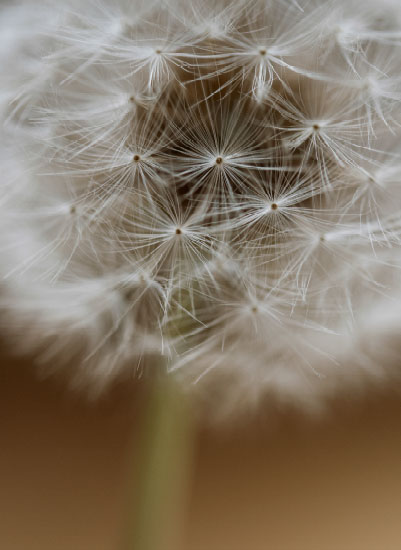 art prints - Dandelion Dots by Coco Paperie