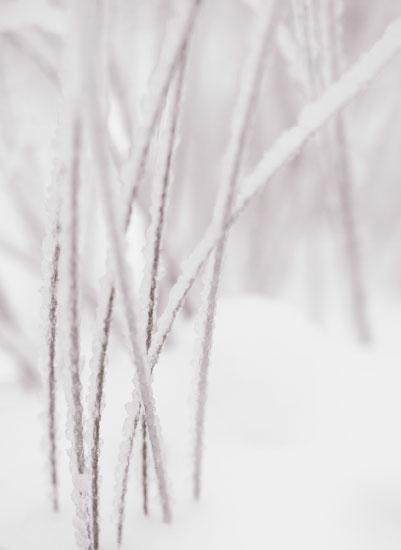 art prints - Snow Grasses by Cococello