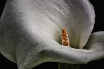 Calla Lily II Art Prints