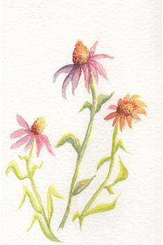 Purple Coneflower and Friends