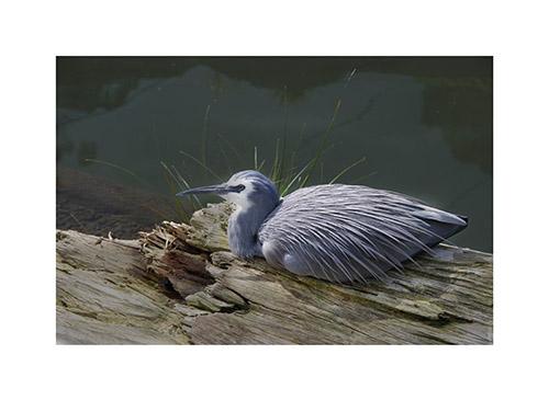 art prints - Gray Heron by Anne Kostecki
