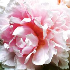 perfectly peony Art Prints