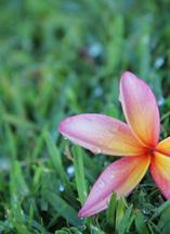Fallen Flower in Maui by Kate Terhune