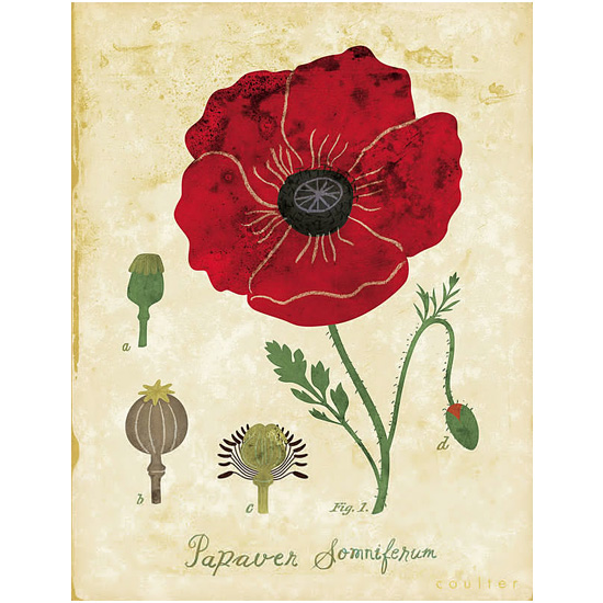 art prints - Red Poppy Botanical by John Coulter