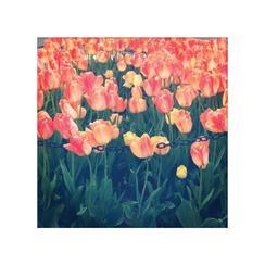 Tulip Art Prints