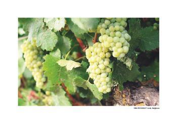 Vineyard Series - Chardonnay