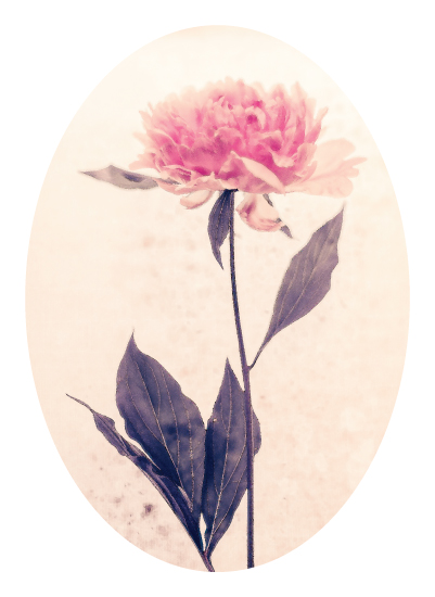 art prints - that pink peony standing gracefully by Qing Ji