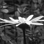 Black and White Daisy by Katrina Lindhorst