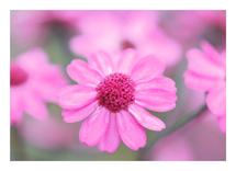 Pink Daisies by Super Unison