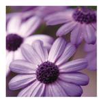 Purple Daisies 2 by Super Unison