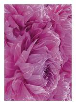 Pink Dahlias by Super Unison