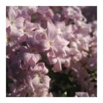 Lilac at First Light by Juniper Berry Design