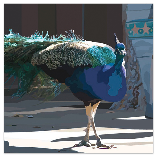 art prints - LIBERACE THE PET PEACOCK by JOHANNA PURMORT