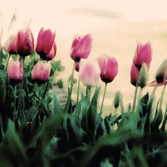 art prints - Tulip Garden by A. Dolan