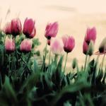Tulip Garden by A. Dolan