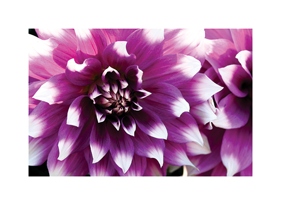 art prints - Dahlias by Becky Nimoy