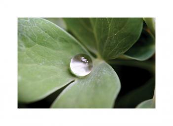 Water Drop on Clover