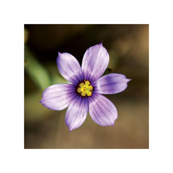 art prints - Purple Flower by Becky Nimoy