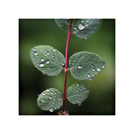 art prints - Dewy Rose Bush by Becky Nimoy