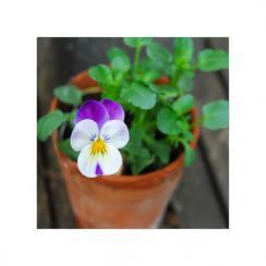 Tiny Viola