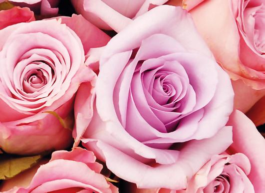 art prints - Blushing Roses by Jade Tran