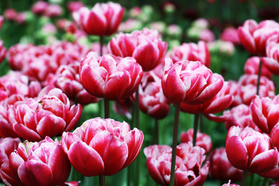 art prints - Tulips in May by Cathryn Toenyes