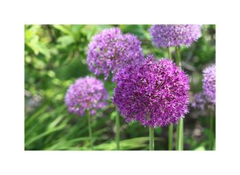 Royal Allium