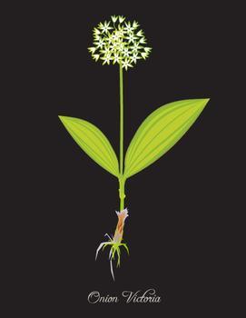 Botanical Onion 1