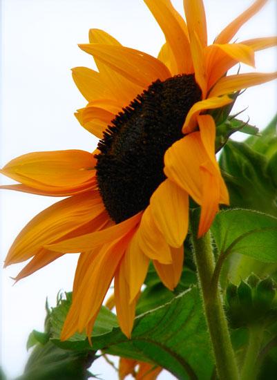 art prints - Beauty of the Sunflower by Jenn Bigioni