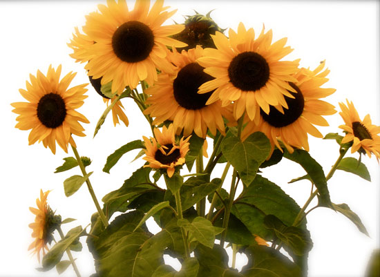 art prints - The Sunny Faces of the Sunflower by Jenn Bigioni