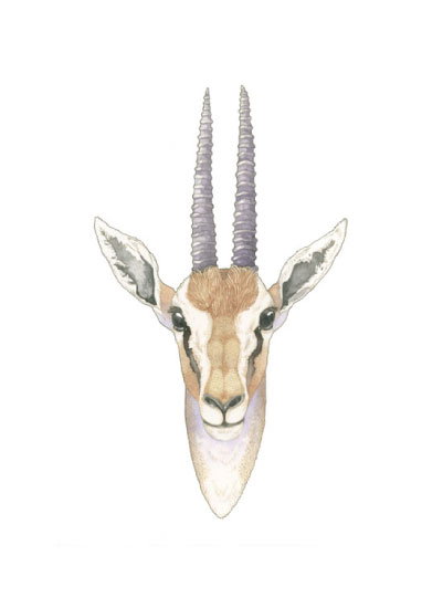 art prints - African Gazelle by Natalie Groves