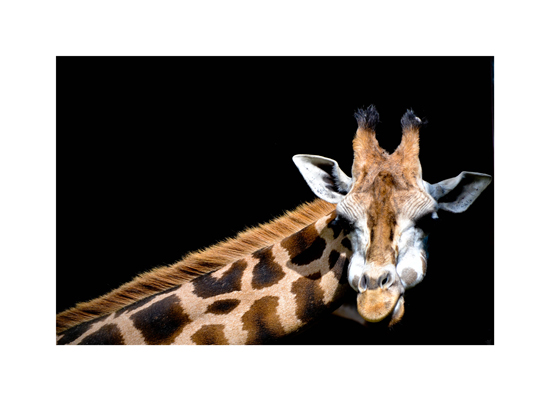 art prints - Giraffe by Lana Shcherbinskaya
