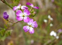 Wild Radish Blossoms by Shannon Casey