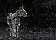 Zebra with outlined str... by Diane