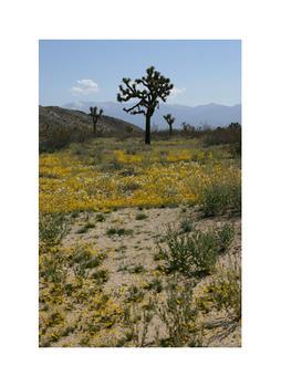 Mojave Wildflowers 3