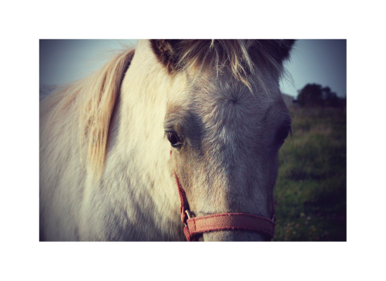 art prints - White Pony by Gray Star Design