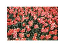 Red tulips by Nadinda