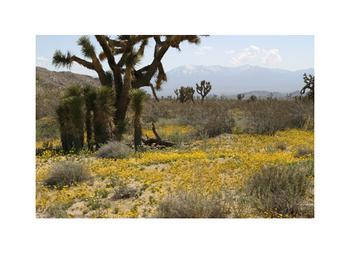 Mojave Wildflowers 4